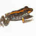 Gaige's Rain Frog - Photo (c) Brian Gratwicke, some rights reserved (CC BY)