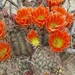 Echinocereus × lloydii - Photo (c) phhbrown, some rights reserved (CC BY-NC)