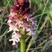 Neotinea ustulata - Photo (c) andim, algunos derechos reservados (CC BY-NC)