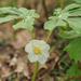 Podophyllum peltatum - Photo no hay derechos reservados