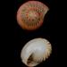 Umbonium - Photo (c) bathyporeia, algunos derechos reservados (CC BY-NC-ND)