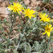 Spiny Goldenweed - Photo (c) ellen hildebrandt, some rights reserved (CC BY-NC)