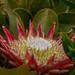 Protea cynaroides - Photo (c) Callum Evans,  זכויות יוצרים חלקיות (CC BY-NC)
