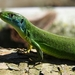 Western Green Lizard - Photo no rights reserved