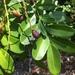 Simarouba glauca - Photo (c) isabella_plummer, algunos derechos reservados (CC BY-NC)
