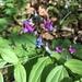Lathyrus vernus - Photo (c) Daniel Pool, algunos derechos reservados (CC BY-NC)