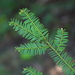 Taxus brevifolia - Photo (c) kokanee, μερικά δικαιώματα διατηρούνται (CC BY-NC), uploaded by Joanne Siderius