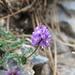 Astragalus purpusii - Photo (c) Alejandro Huereca, alguns direitos reservados (CC BY-NC-ND)