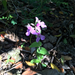 Streptanthus bracteatus - Photo (c) owennnnnnnnnn,  זכויות יוצרים חלקיות (CC BY-NC), uploaded by owenmoorhead