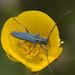 Phytoecia coerulescens - Photo (c) Ivan Pancic, algunos derechos reservados (CC BY-NC)