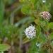 Spiraea beauverdiana - Photo (c) Boris Bolshakov, algunos derechos reservados (CC BY-NC)