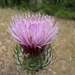 California Thistle - Photo (c) Robert, some rights reserved (CC BY-NC)