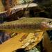 Salmones Y Truchas - Photo (c) Brian Yap (葉), algunos derechos reservados (CC BY-NC)