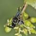 Arañas Cangrejo Negritas - Photo (c) Marcello Consolo, algunos derechos reservados (CC BY-NC-SA)