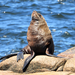 South American Fur Seal - Photo (c) Guillermo Menéndez, some rights reserved (CC BY-NC-SA)