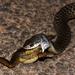 Tropidonophis - Photo (c) Matt, algunos derechos reservados (CC BY)