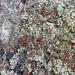 Cladonia ravenelii - Photo (c) Giff Beaton, osa oikeuksista pidätetään (CC BY-NC)