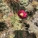 Choya Californiana - Photo (c) sorco, algunos derechos reservados (CC BY-NC)