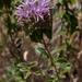 Monardella villosa villosa - Photo (c) Franco Folini, algunos derechos reservados (CC BY)