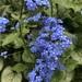 Brunnera macrophylla - Photo (c) nk007,  זכויות יוצרים חלקיות (CC BY-NC)