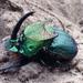 Phanaeus difformis - Photo (c) cullen, μερικά δικαιώματα διατηρούνται (CC BY-NC), uploaded by Cullen Hanks
