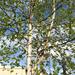 Betula neoalaskana - Photo (c) Derek Sikes, μερικά δικαιώματα διατηρούνται (CC BY-NC)