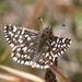 Grizzled Skippers - Photo (c) J. Maughn, some rights reserved (CC BY-NC), uploaded by James Maughn