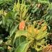 Excoecaria agallocha - Photo (c) 何瑛姬, μερικά δικαιώματα διατηρούνται (CC BY)