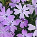 Moss Phlox - Photo (c) phoebemae, some rights reserved (CC BY-NC)