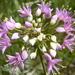 Prairie Onion - Photo (c) USFWS Mountain-Prairie, some rights reserved (CC BY)