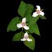 Trillium undulatum - Photo (c) sandy richard, algunos derechos reservados (CC BY-NC-SA)