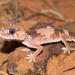 Nephrurus wheeleri - Photo (c) Ray Turnbull, μερικά δικαιώματα διατηρούνται (CC BY-NC)