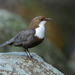 Dippers - Photo (c) Agustín Povedano, some rights reserved (CC BY-NC-SA)
