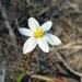 Pauridia alba - Photo (c) Hayley-May Wittridge, algunos derechos reservados (CC BY-NC)