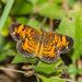 Pearl Crescent - Photo (c) greglasley, some rights reserved (CC BY-NC), uploaded by Greg Lasley