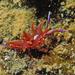Hermaea variopicta - Photo (c) Géry Parent, alguns direitos reservados (CC BY-ND)