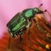 Trichiotinus lunulatus - Photo (c) Melanie Schuchart,  זכויות יוצרים חלקיות (CC BY-NC)