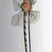 Indian Duskhawker - Photo (c) Vijay Anand Ismavel, some rights reserved (CC BY-NC-SA), uploaded by Dr. Vijay Anand Ismavel MS MCh