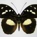 Aterica galene extensa - Photo (c) Thomas Desloges,  זכויות יוצרים חלקיות (CC BY-NC)
