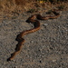 Pacific Gopher Snake - Photo (c) Jill Matsuyama, some rights reserved (CC BY-NC-SA)