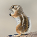 White-tailed Antelope Squirrel - Photo (c) Marshal Hedin, some rights reserved (CC BY-NC-SA)