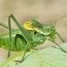 Bull Bush-Cricket - Photo (c) Gilles San Martin, some rights reserved (CC BY-SA)