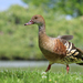 Plumed Whistling-Duck - Photo (c) Gary Stone, some rights reserved (CC BY-NC)