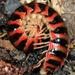 Xystodesmidae - Photo (c) Patrick Coin, osa oikeuksista pidätetään (CC BY-NC-SA)