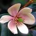 Magnoliaceae - Photo (c) Kai Yan,  Joseph Wong, osa oikeuksista pidätetään (CC BY-NC-SA)