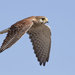 Falco newtoni - Photo (c) Zak Pohlen, alguns direitos reservados (CC BY-NC-SA)