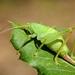 Cyrtaspis scutata - Photo (c) Gilles San Martin, μερικά δικαιώματα διατηρούνται (CC BY-SA)
