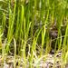 Lilaeopsis - Photo (c) Irvin Louque, algunos derechos reservados (CC BY-NC-ND)