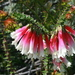 Fuchsia Heath - Photo (c) Toby Hudson, some rights reserved (CC BY-SA)