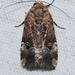 Elaphria chalcedonia - Photo (c) Andy Reago & Chrissy McClarren, algunos derechos reservados (CC BY)